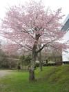 Sakura2_4